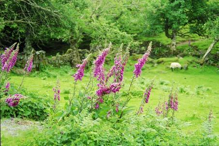 5-29 Uig fairy glen foxgloves, Skye
